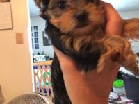 Absolutely ADORABLE AKC Reg Teacup Yorkie Puppies - 6