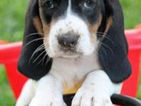 Adorable and friendly AKC registered Basset Hounds will