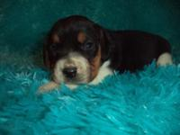 Ian is a charming AKC signed up male Beagle puppy