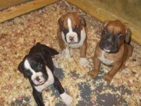 ADORABLE AKC REGISTERED BOXER PUPPIES. WE HAVE 1 RARE
