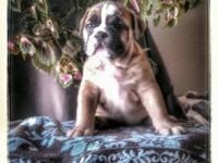 We have three gorgeous female English Bulldog puppies