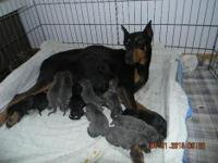 AKC Registered Doberman Pinscher Puppies. DOB;5/30/2015
