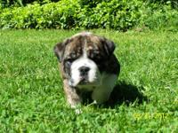 Champion bloodline and AKC registered Bulldog puppies