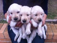 AKC 100% English Cream Golden Retriever puppies for