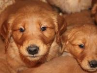 We have for sale 9 golden retriever puppies, 61/2 -7