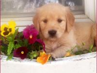 Beautiful AKC Registered Golden Retriever Puppies. Both
