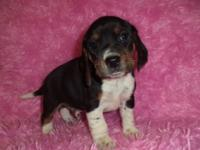 Isaac is an exceptional AKC signed up male Beagle that