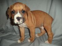 Scout is a gorgeous AKC registered male Boxer young