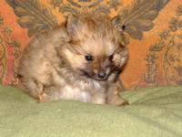 Beautiful Pomeranian male puppy. Born 1-5-15. Ready for