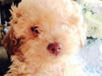 ADORABLE , PUREBRED , AKC REGISTERED, TOY POODLE MALE