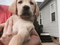 Adorable Yellow Lab Puppies ready for a new home. These