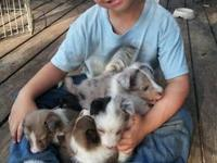 I have 3 sheltie female puppies available for sale. I