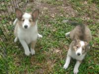 Absolutely beautiful Sable & White AKC Sheltie babies.