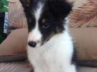 Adorable AKC Shetland Sheepdogs. Two Male Tri and one