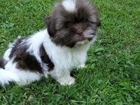 Adorable AKC Shih Tzu Puppies, born July 1, 2015. We