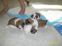 6 Adorable puppies, 5 males 1 female. Family raised