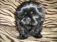 We have 3 gorgeous black male shih-tzu puppies for sale