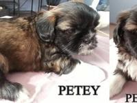 4 AKC Male Shih Tzu puppies all set for new permanently