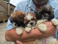 Adorable AKC 8 wk old Shih Tzu puppies; 3M/1F. Brown