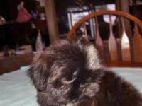 Adorable AKC Shih Tzu Female Puppy, Iam ready for my