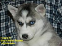 8 Beautiful Siberian Husky Puppies. 6 Females/2 Males.
