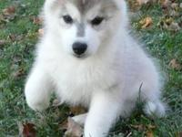 AKC / ACA registered - Siberian Husky Puppies for Sale