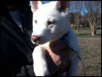 Male Siberian Husky puppy, all white with blue eye's.