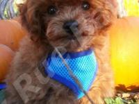 SuMac is a Beautiful AKC male Toy Poodle Baby. He is