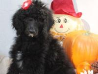 """Minnie"" the mini Standard Poodle! She is my last baby"