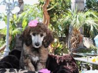 AKC Standard Poodle puppies !! These children are 8