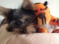 Adorable AKC Male Yorky For Sale. Lives with parents.