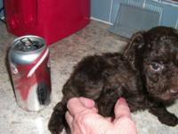 I have a tiny toy dark chocolate poodle that will be