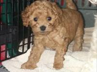 Two adorable purebred Toy Poodle pups looking for a new