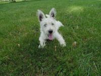 AKC Westie male puppy, vet checked, first shots,