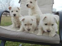 AKC Westie puppies, vet checked, first shots,