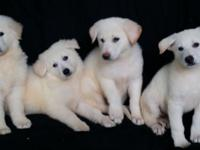 Gorgeous AKC German Shepherd Puppies prepared for their