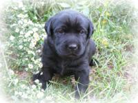 These cute Lab young puppies were born September 19,