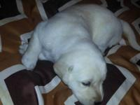 Beautiful AKC yellow lab puppies ready December 14th,