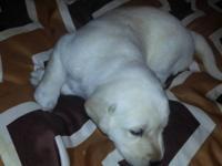 Beautiful AKC yellow lab puppies ready December 14th,