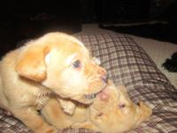 Charming AKC yellow lab puppies for sale! Ready for