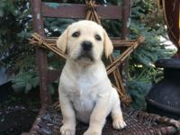 These are beautiful yellow lab puppies ready for their