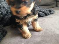 We have Quality AKC registered Yorkie puppies available