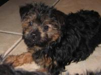 Two AKC registered female yorkie puppies currently 11