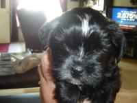Full akc reg male and female Yorkie puppies, wanting