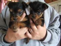 Charming small AKC Yorkies, 4 females, birthed March