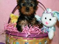 I have four sweet baby yorkies looking for their new