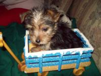 I have adorable and very social AKC registered Yorkie