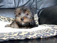 Animal Type: Dogs Adorable male and female yorkie