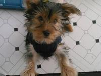 """Blue"" is a 5 month old Yorkie Pup. Born 06/20/2012. He"