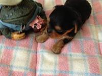 Adorable AKC full registration Yorkie pups for sale.